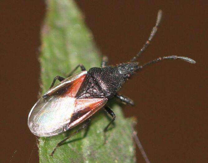 Skupieniec lipowy (Oxycarenus lavaterae) (Slimguy)
