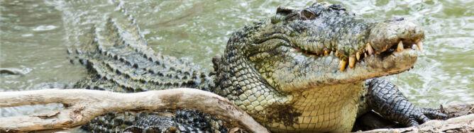 """""""On śledził każdy mój ruch"""". Relacja mężczyzny, którego prześladował krokodyl"""