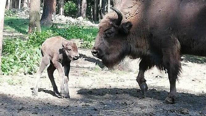Żubrzątko urodziło się w Kiermusach. Jego płeć pozostaje tajemnicą