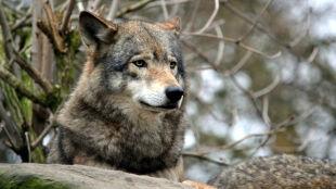 Niezdatny dla człowieka, a populacje zwierząt kwitną. Czarnobyl źródłem życia?