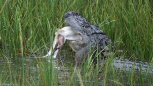 Głodny aligator nie pogardzi rekinem