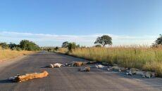 Lwy na drodze w RPA (Richard Sowry Section Ranger Kingfischerspruit Kruger National Parks)