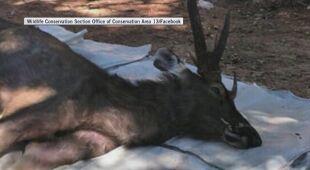 Jeleń z tajlandzkiego parku narodowego miał siedem kilogramów plastiku w żołądku